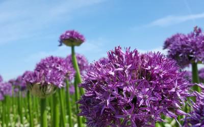 Allium Globemaster vol in bloei