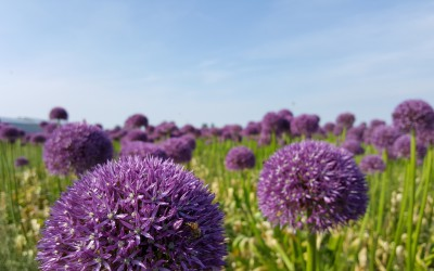 Ook in Enkhuizen paarse velden vol Allium