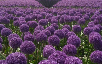 Alliums in the picture