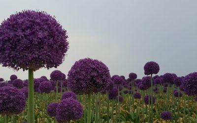 Prachtige Allium