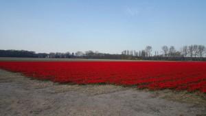 Bloeiend veld met vroege tulpen in de zuid