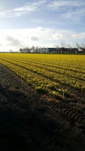 Narcis Tete a Tete volop in bloei in de zuid