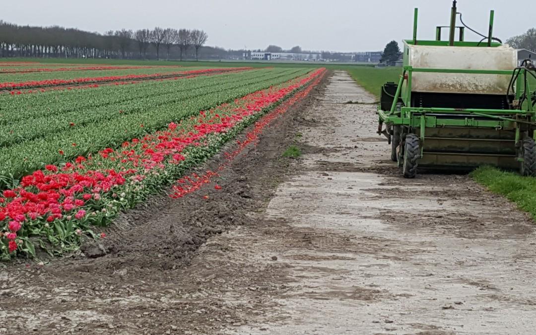 Gekopte tulpen, krokussen en hyacinten