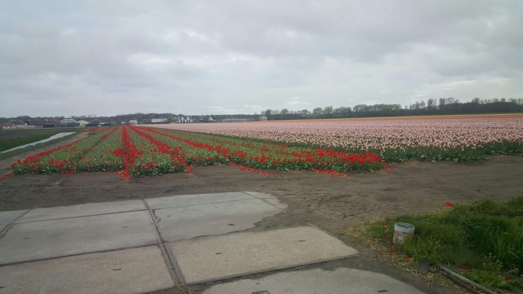 In de Zuid worden de eerste tulpen al weer gekopt het is vroeg dit jaar