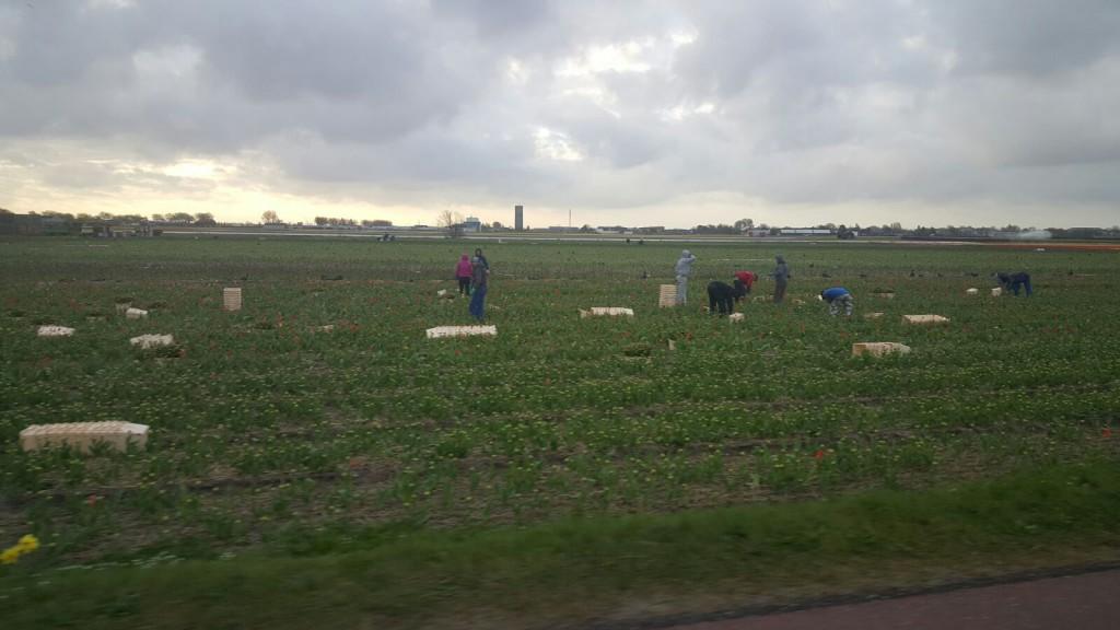 Plukken van de buiten geteelde tulpen in de Zuid voor de veiling van de volgende dag hoe vers wil je het hebben