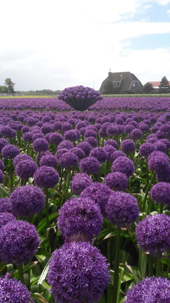 Alliums opgestoken in de IGH egel op het land bij de firma Valkering